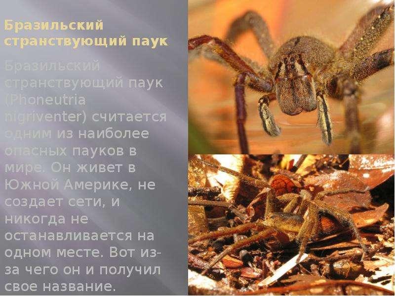 Бразильский странствующий паук Бразильский странствующий паук (Phoneutria nigriventer) считается одн