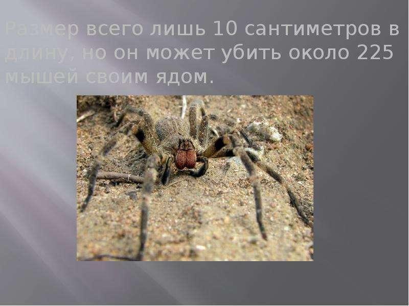 Размер всего лишь 10 сантиметров в длину, но он может убить около 225 мышей своим ядом. Размер всего