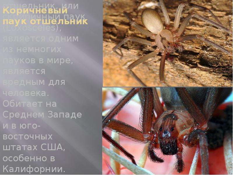 Коричневый паук отшельник Коричневый паук отшельник, или скрипичный паук (Loxosceles), является одни