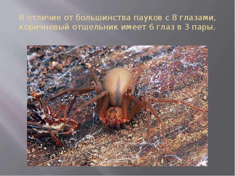 В отличие от большинства пауков с 8 глазами, коричневый отшельник имеет 6 глаз в 3 пары.