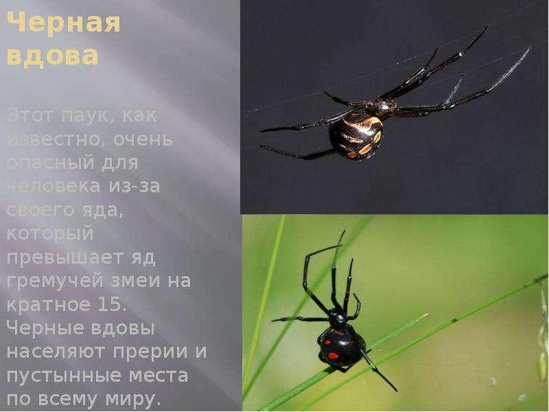 Черная вдова Этот паук, как известно, очень опасный для человека из-за своего яда, который превышает