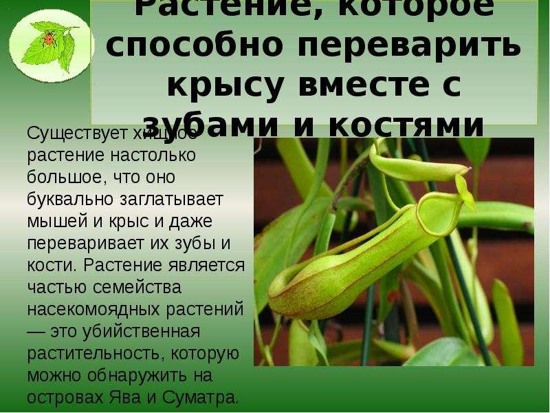 Растение, которое способно переварить крысу вместе с зубами и костями