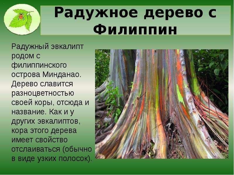 Радужное дерево с Филиппин