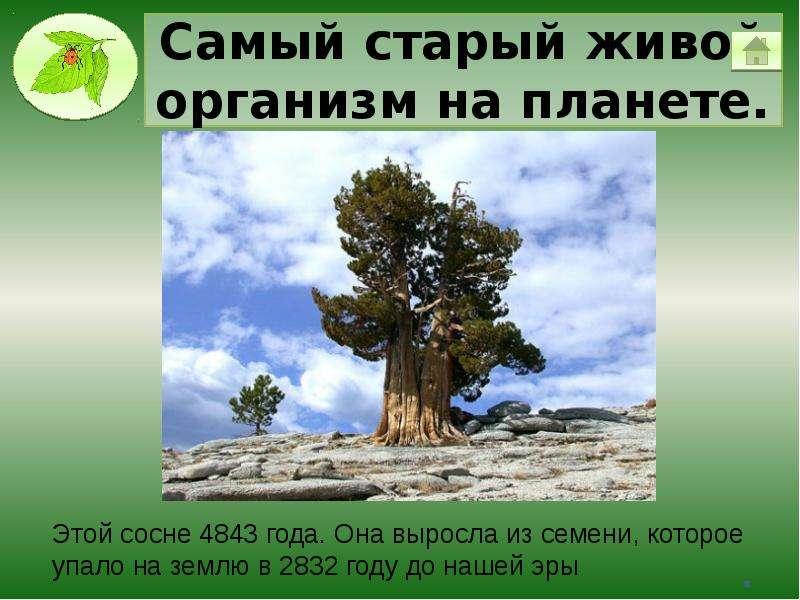Самый старый живой организм на планете.