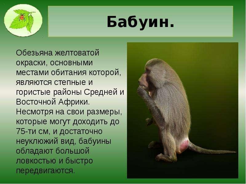 Бабуин.