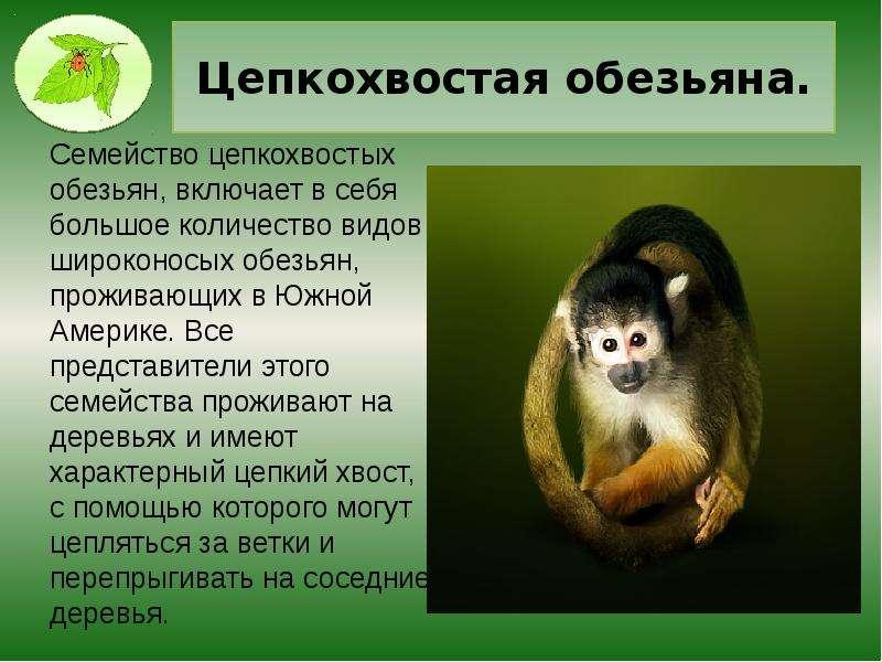 Цепкохвостая обезьяна.