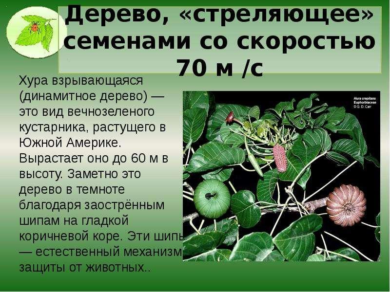 Дерево, «стреляющее» семенами со скоростью 70 м /с