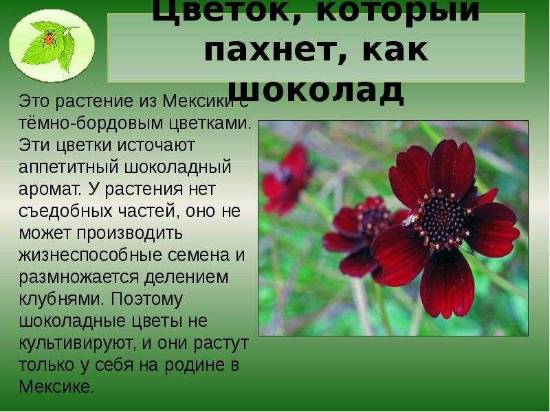 Цветок, который пахнет, как шоколад