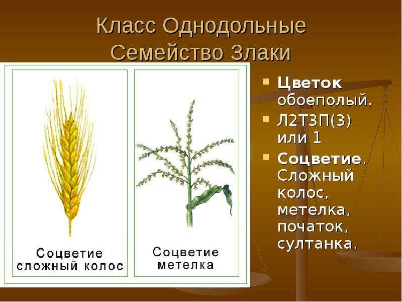 Класс Однодольные Семейство Злаки Цветок обоеполый. Л2Т3П(3) или 1 Соцветие. Сложный колос, метелка,