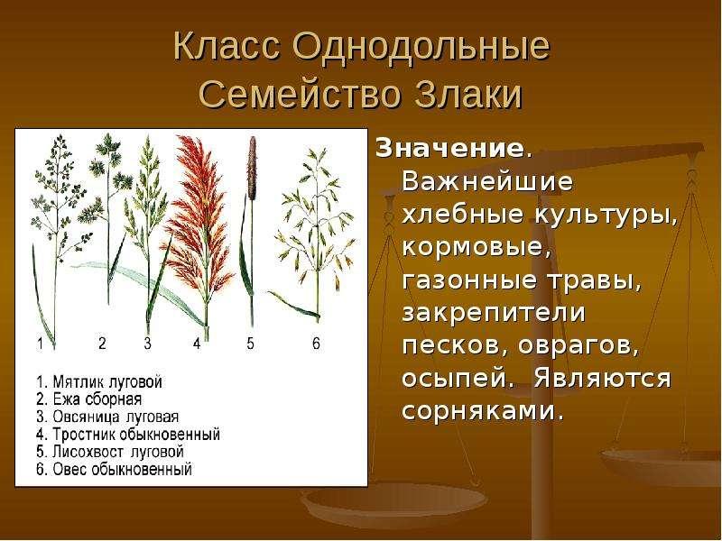 Класс Однодольные Семейство Злаки Значение. Важнейшие хлебные культуры, кормовые, газонные травы, за
