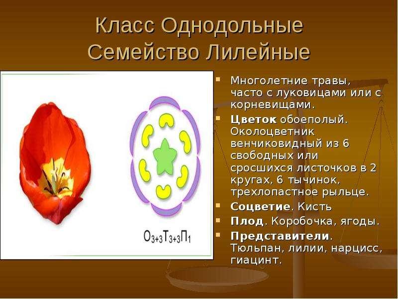 Класс Однодольные Семейство Лилейные Многолетние травы, часто с луковицами или с корневищами. Цветок