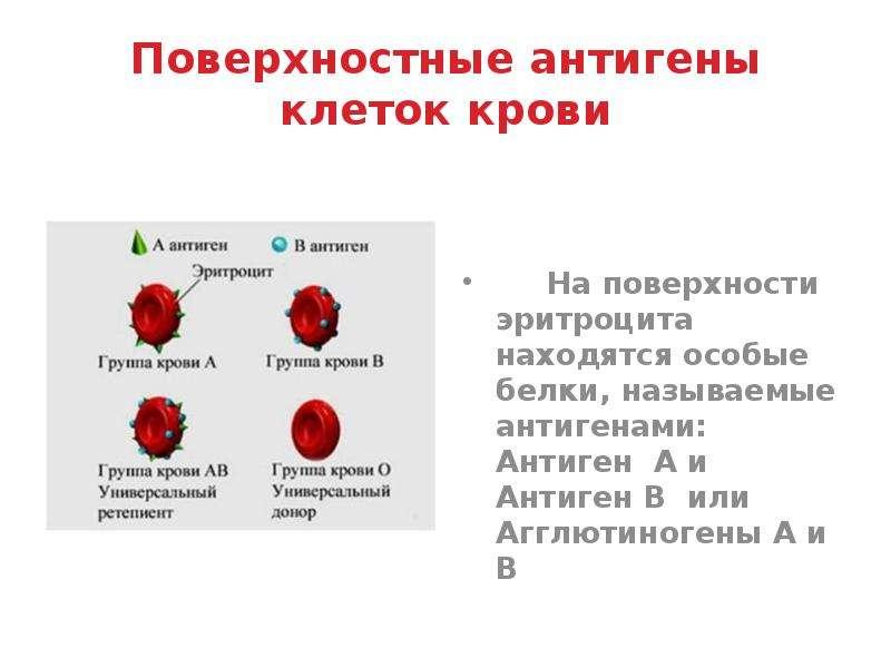 Поверхностные антигены клеток крови На поверхности эритроцита находятся особые белки, называемые ант