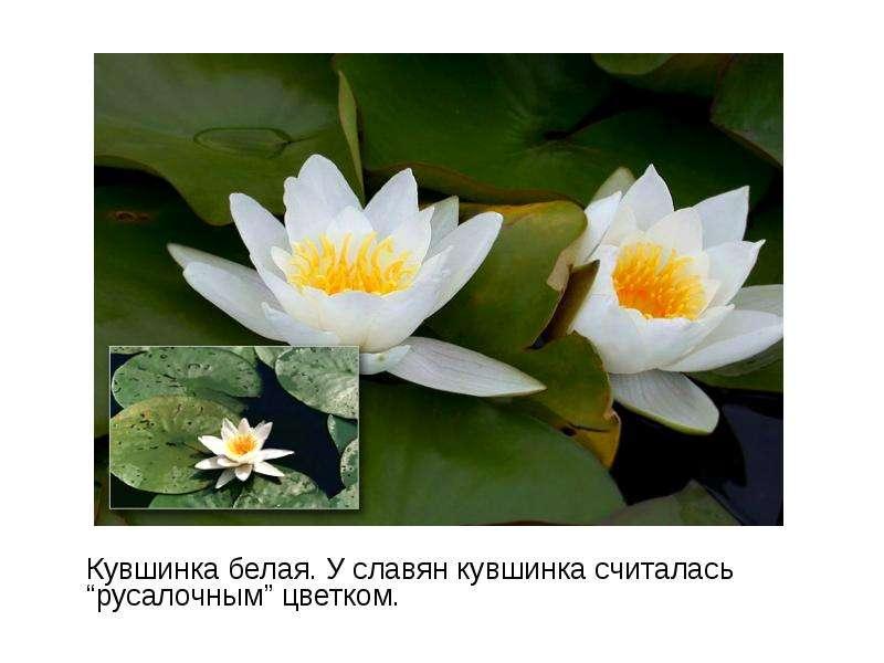 "Кувшинка белая. У славян кувшинка считалась ""русалочным"" цветком. Кувшинка белая. У славян кувшинка"