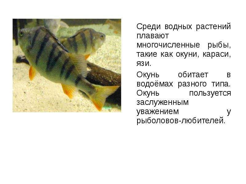 Среди водных растений плавают многочисленные рыбы, такие как окуни, караси, язи. Среди водных растен