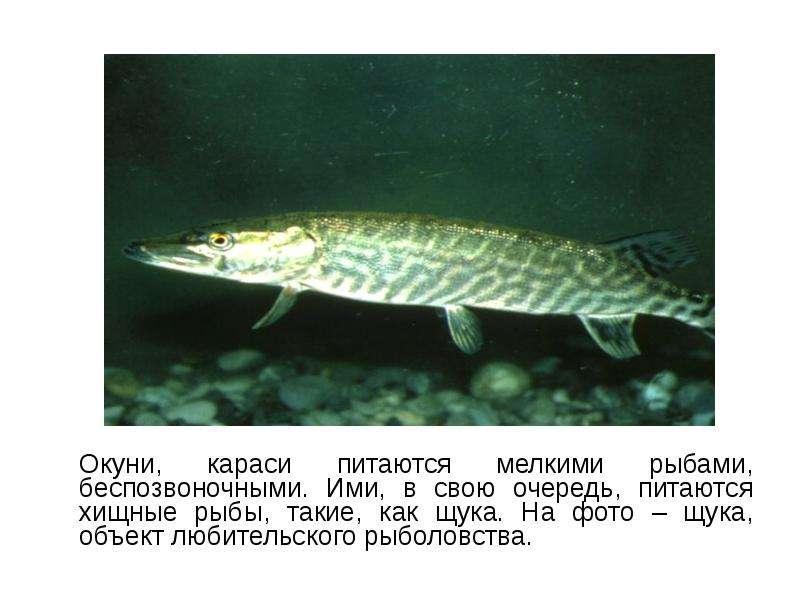 Окуни, караси питаются мелкими рыбами, беспозвоночными. Ими, в свою очередь, питаются хищные рыбы, т