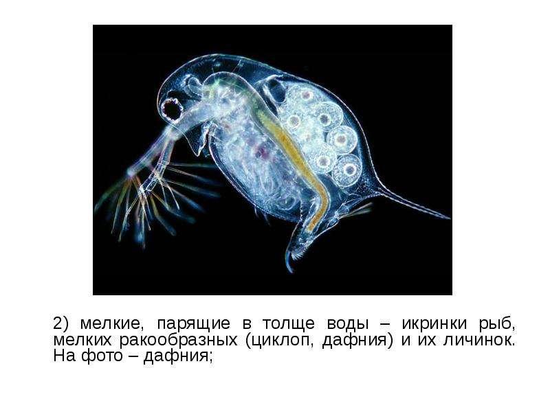 2) мелкие, парящие в толще воды – икринки рыб, мелких ракообразных (циклоп, дафния) и их личинок. На