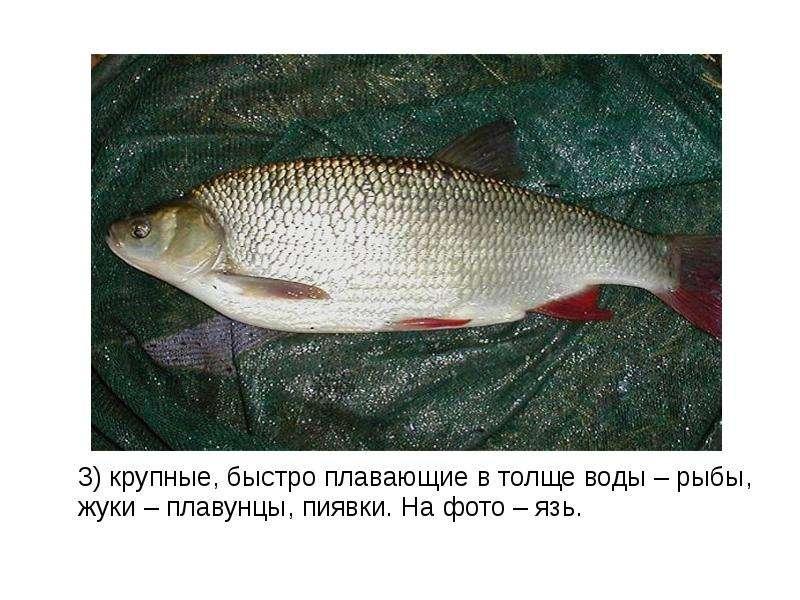 3) крупные, быстро плавающие в толще воды – рыбы, жуки – плавунцы, пиявки. На фото – язь. 3) крупные