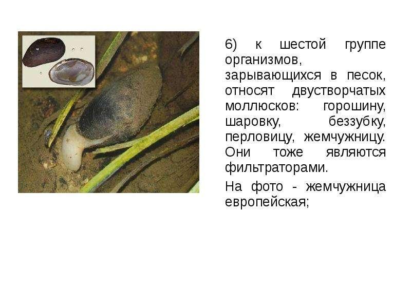 6) к шестой группе организмов, зарывающихся в песок, относят двустворчатых моллюсков: горошину, шаро