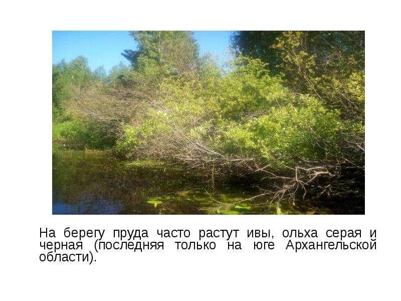На берегу пруда часто растут ивы, ольха серая и черная (последняя только на юге Архангельской област