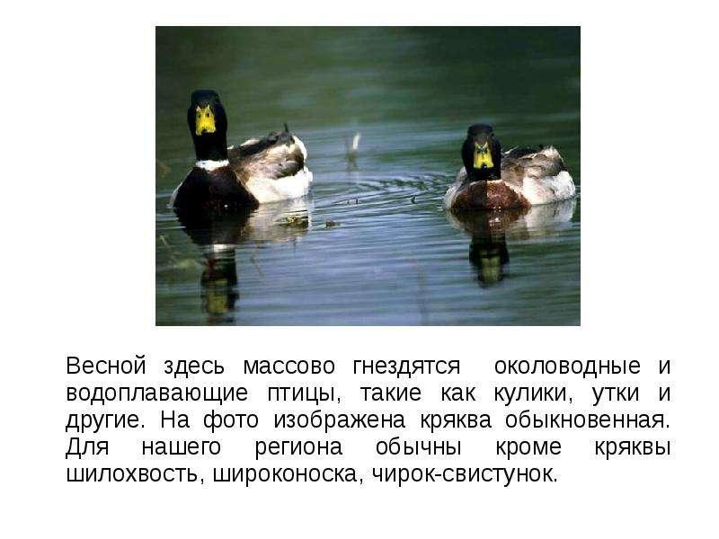 Весной здесь массово гнездятся околоводные и водоплавающие птицы, такие как кулики, утки и другие. Н