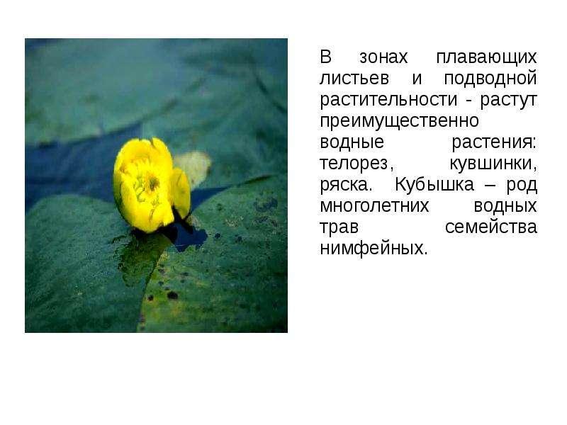 В зонах плавающих листьев и подводной растительности - растут преимущественно водные растения: телор