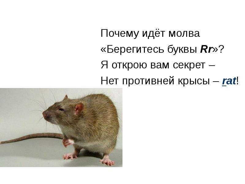 Почему идёт молва «Берегитесь буквы Rr»? Я открою вам секрет – Нет противней крысы – rat!