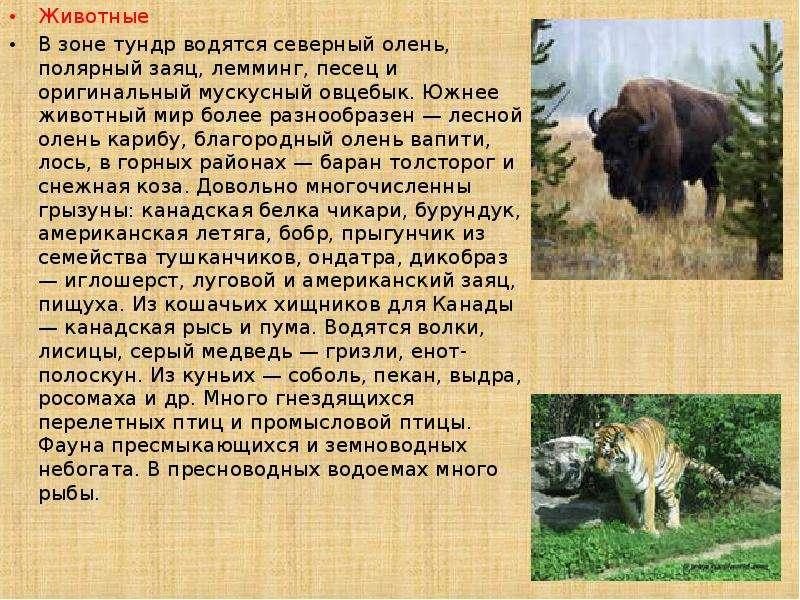 Животные Животные В зоне тундр водятся северный олень, полярный заяц, лемминг, песец и оригинальный