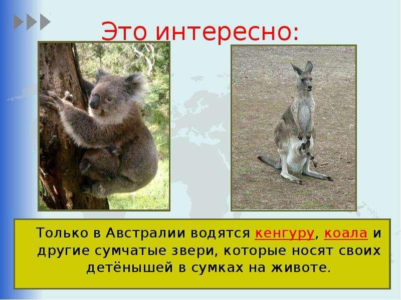 Это интересно: Только в Австралии водятся кенгуру, коала и другие сумчатые звери, которые носят свои