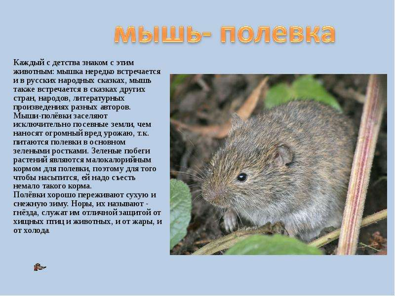маленький текст о мышах для