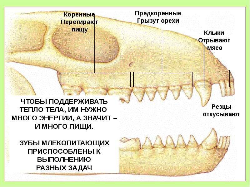 Зубы хищного млекопитающего