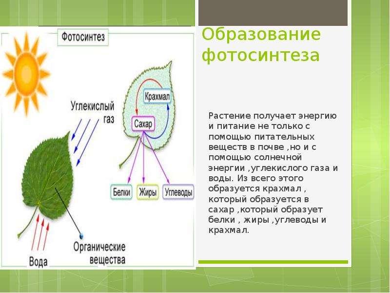 Образование фотосинтеза Растение получает энергию и питание не только с помощью питательных веществ