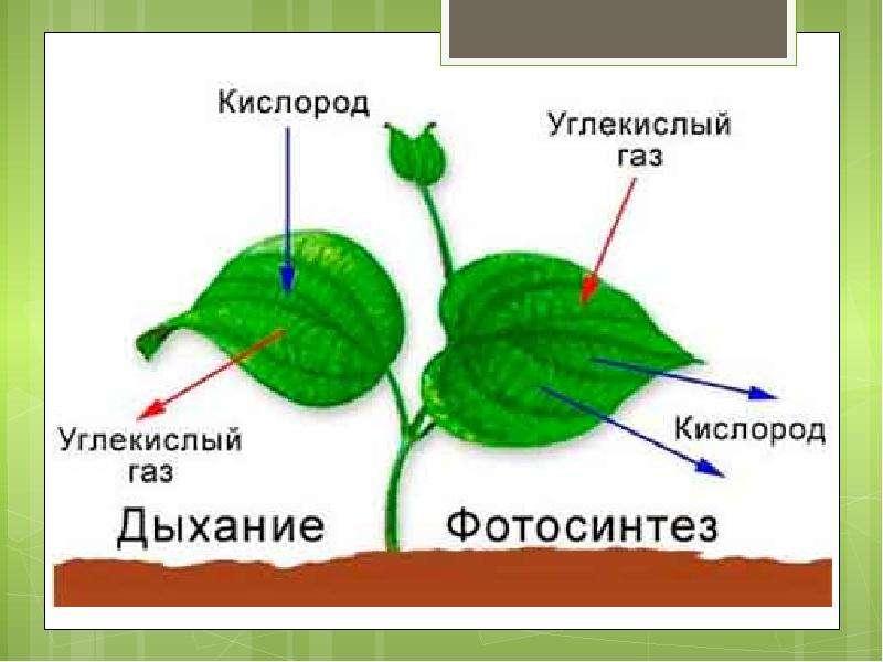 Фотосинтез и дыхание растений, слайд 11
