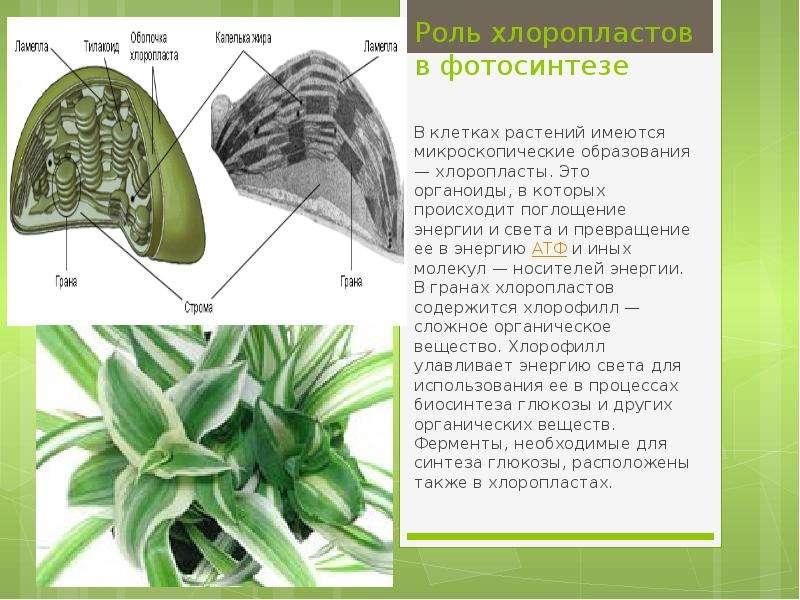 Роль хлоропластов в фотосинтезе В клетках растений имеются микроскопические образования — хлоропласт