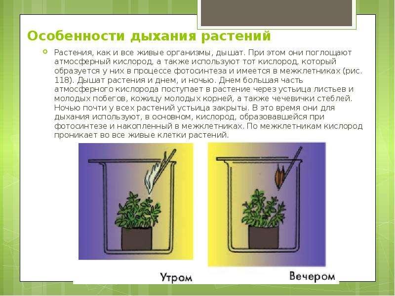 Особенности дыхания растений Растения, как и все живые организмы, дышат. При этом они поглощают атмо