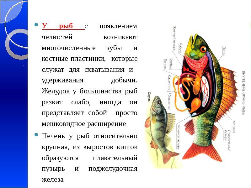 У рыб с появлением челюстей возникают многочисленные зубы и костные пластинки, которые служат для сх
