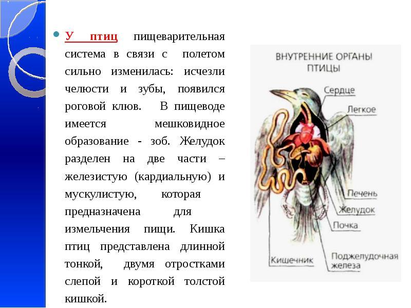 У птиц пищеварительная система в связи с полетом сильно изменилась: исчезли челюсти и зубы, появился