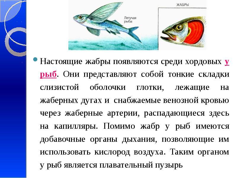Настоящие жабры появляются среди хордовых у рыб. Они представляют собой тонкие складки слизистой обо