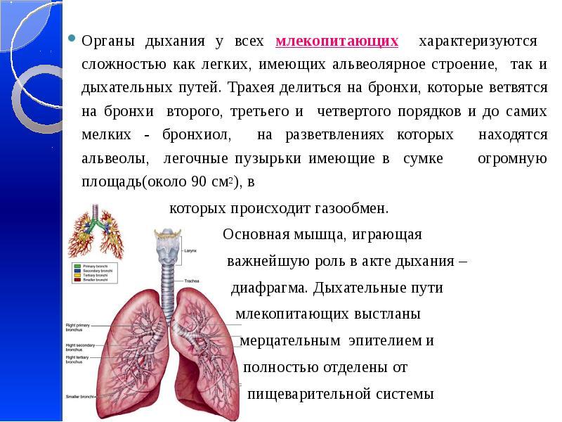 Органы дыхания у всех млекопитающих характеризуются сложностью как легких, имеющих альвеолярное стро