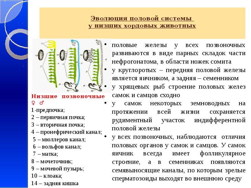 Эволюция половой системы у низших хордовых животных Низшие позвоночные ♀ ♂ 1-предпочка; 2 – первична