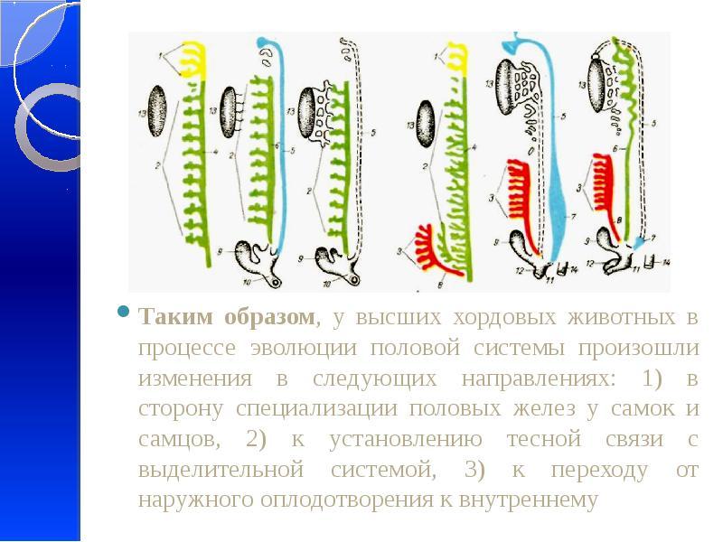 Филогенез половой систем, пищеварительной и дыхательной систем. Пороки развития., слайд 8