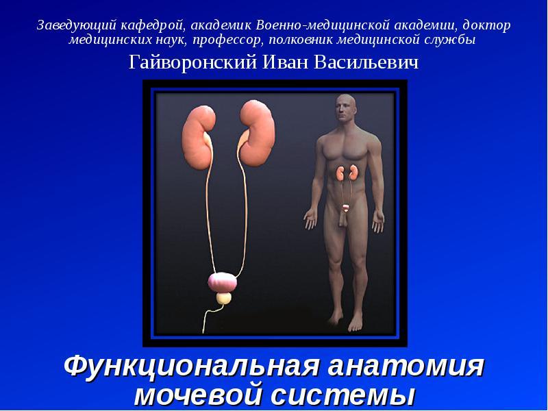 Презентация Функциональная анатомия мочевой системы