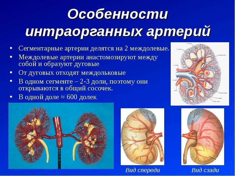 Особенности интраорганных артерий Сегментарные артерии делятся на 2 междолевые. Междолевые артерии а