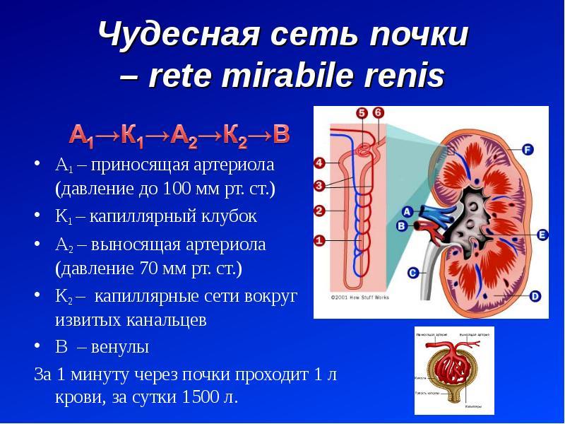 Чудесная сеть почки – rete mirabile renis А1 – приносящая артериола (давление до 100 мм рт. ст. ) К1
