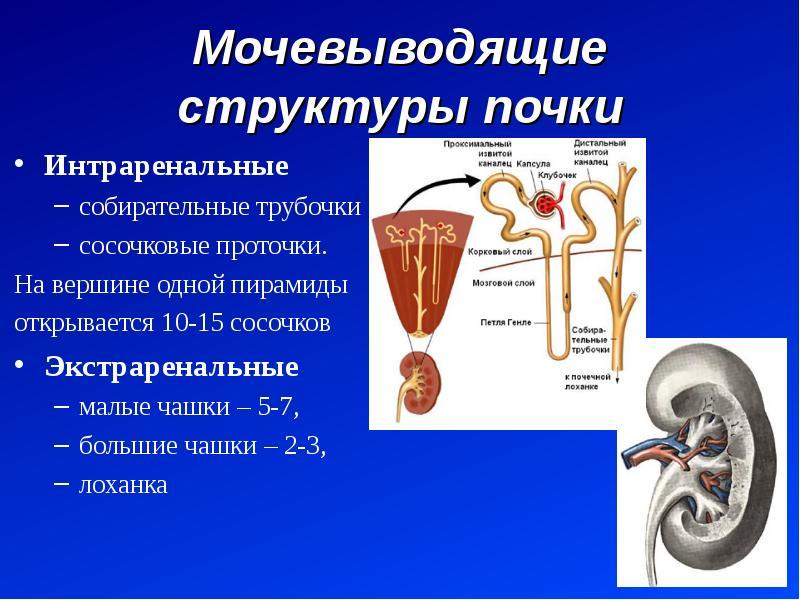 Мочевыводящие структуры почки Интраренальные собирательные трубочки сосочковые проточки. На вершине