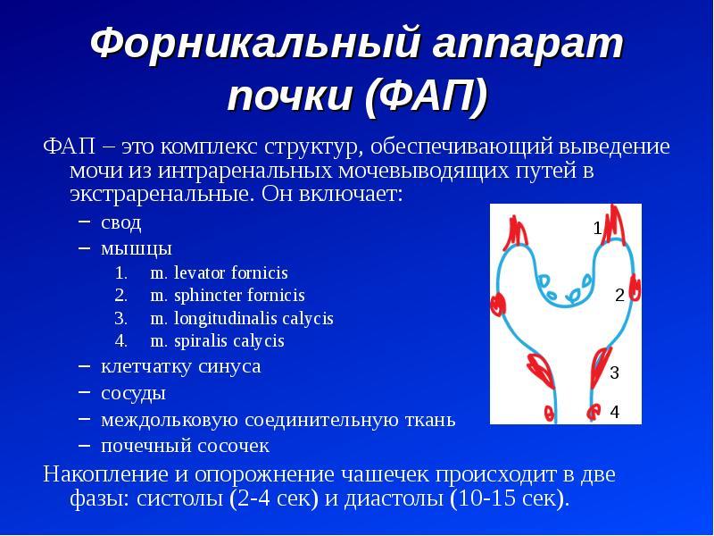 Форникальный аппарат почки (ФАП) ФАП – это комплекс структур, обеспечивающий выведение мочи из интра