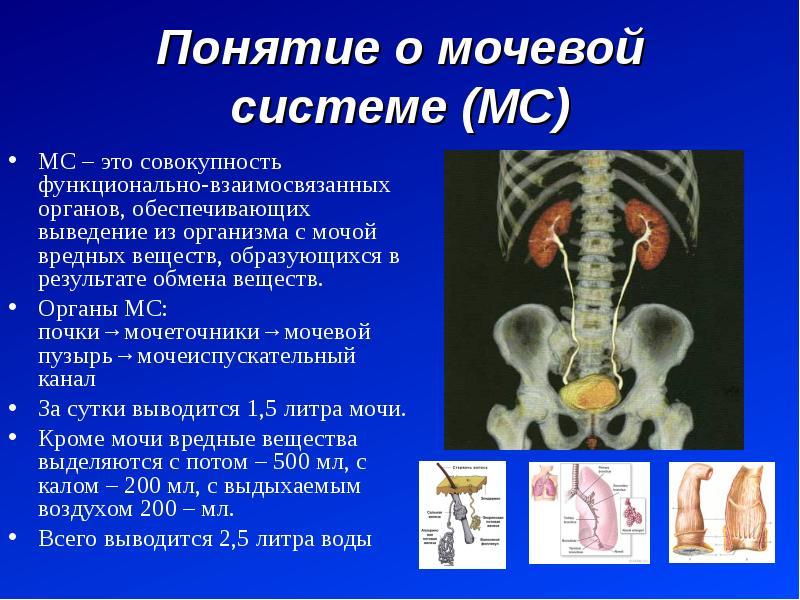 Понятие о мочевой системе (МС) МС – это совокупность функционально-взаимосвязанных органов, обеспечи