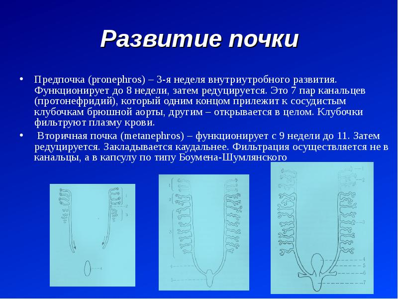 Развитие почки Предпочка (pronephros) – 3-я неделя внутриутробного развития. Функционирует до 8 неде