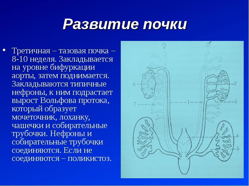 Развитие почки Третичная – тазовая почка – 8-10 неделя. Закладывается на уровне бифуркации аорты, за