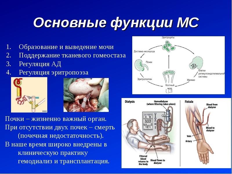 Основные функции МС Образование и выведение мочи Поддержание тканевого гомеостаза Регуляция АД Регул