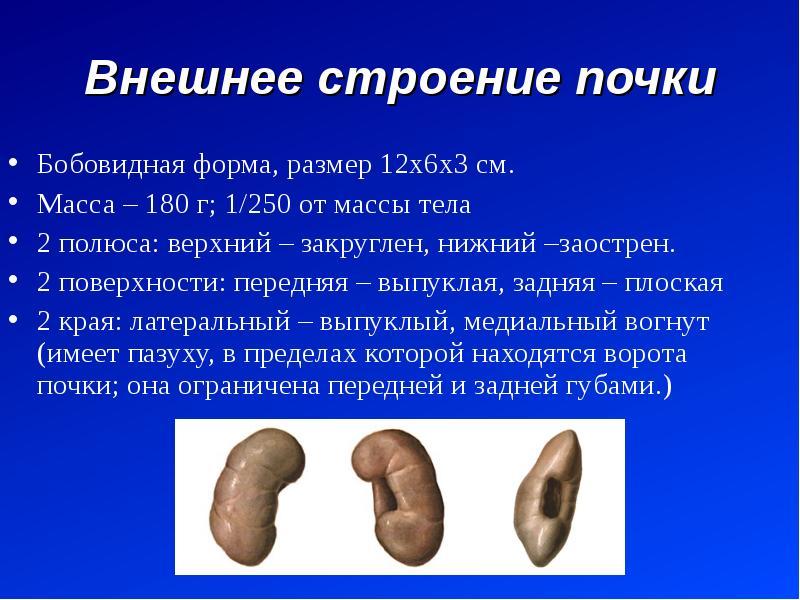 Внешнее строение почки Бобовидная форма, размер 12х6х3 см. Масса – 180 г; 1/250 от массы тела 2 полю